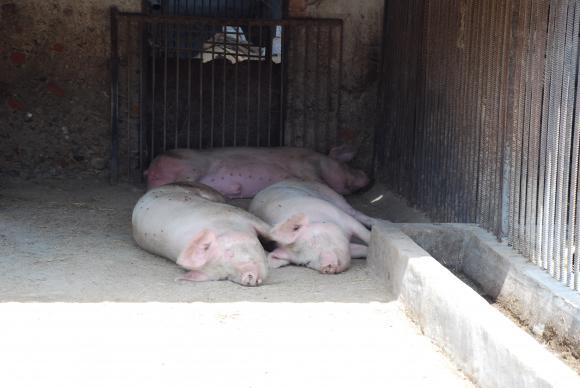 Фермерите имат 2 седмици да кандидатстват за възстановяване на стадата си по подмярка 5,2