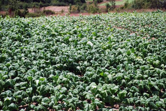 Тазгодишната реколта от тютюн е намаляла с до 20 на сто
