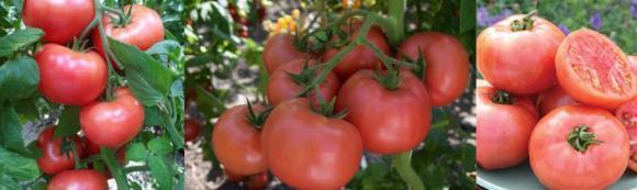 Предзимна сеитба на домати – практика за експериментатори