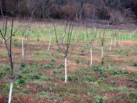 Железен сулфат за есенна обработка на овощните дървета и храсти