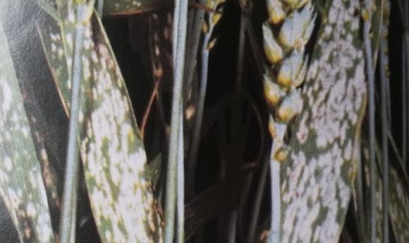 Гъбни болести, застрашаващи житните посеви със слята повърхност