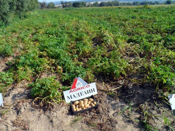 Добивът от картофи е с 20 процента по-голям от миналогодишния, при полските домати спад от над 22 процента