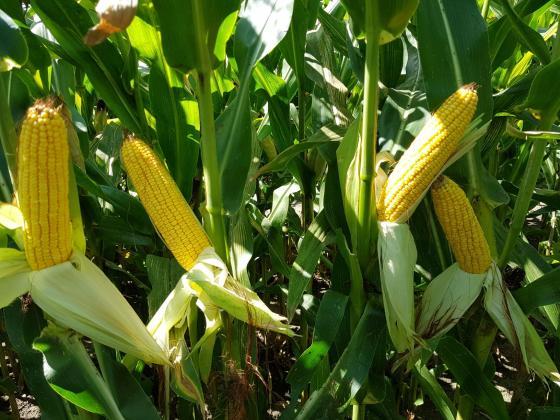 """С """"Артезиан"""" - новата генетика на """"Синджента"""", си гарантирате здрава и високо добивна царевица"""