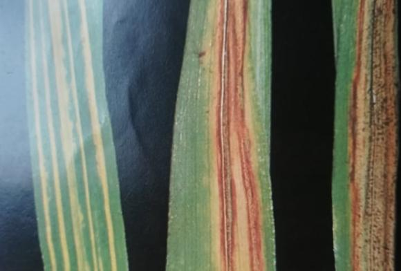 Петна и листни пригори по житните