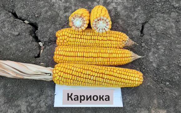 Отглеждане на царевица при стресови условия