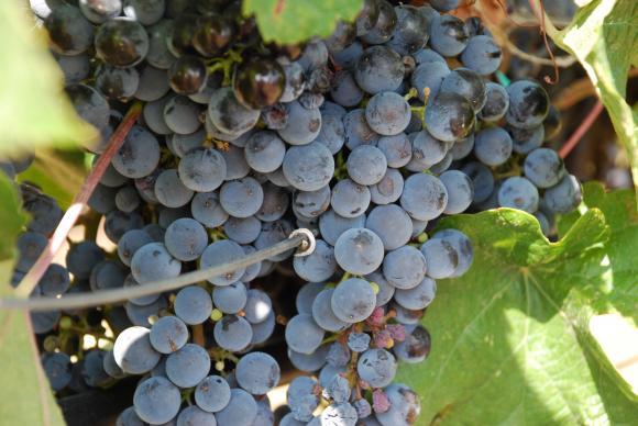 ТРГ ще обсъжда помощите за лозари и винари в стратегическия план до 2027 година