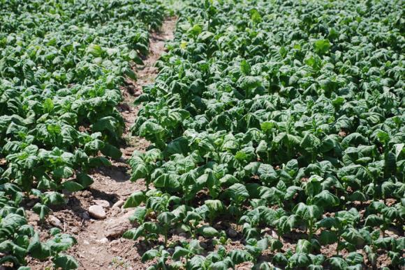 Над 90 на сто от едролистните сортове тютюн вече са изкупени