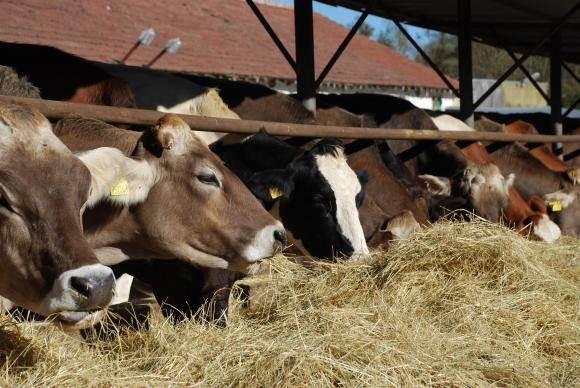 Обвързаната подкрепа ще се дава за гледане на до 10-годишни млечни крави