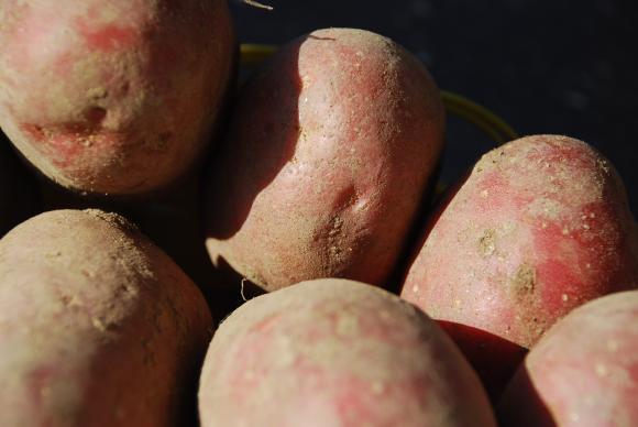 Производителите на картофи, лук и чесън предават фактурите си от 4 до 27 януари