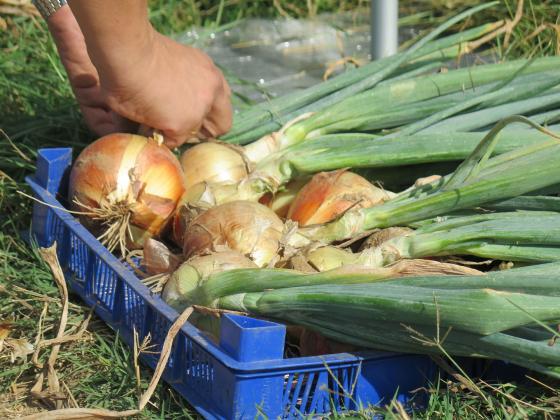 Производителите на картофи, лук и чесън получиха SMS за доказване на обвързаната подкрепа