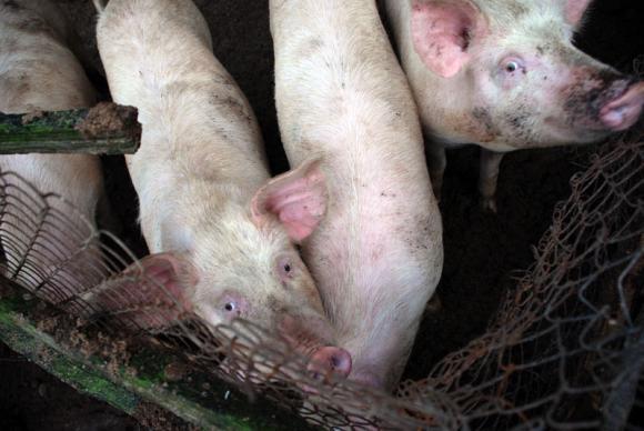 Отпада необходимостта за индивидуално маркиране на свинете за клане от големите ферми