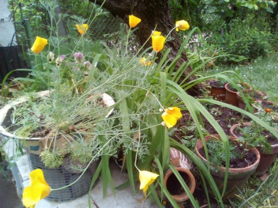 Слънчевото цвете калифорнийски мак (Ешолция)