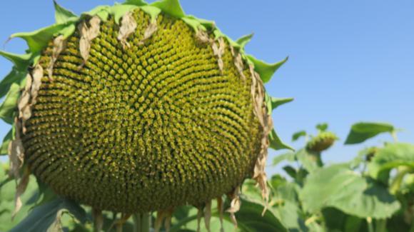Corteva AgriScience™ - лидер в Експрес технологията при слънчоглед