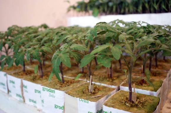 Как да защитим разсада от сечене?