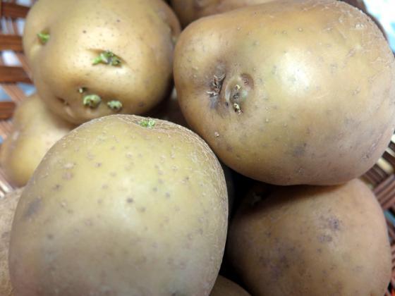 Можем да предпазим картофите от краста
