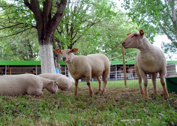 Откраднаха 7 агнета и овен от село в Добричко