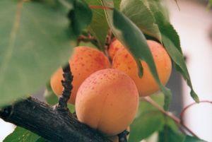 За поредна година студовете съсипват реколтата от череши и кайсии в Испания