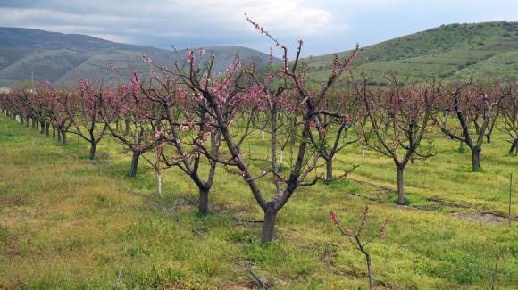 Грижи за прасковата в ранната пролет