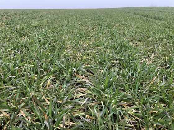 Защо не трябва да пропускаме пролетното третиране на пшеница с Амалгерол Есенс?