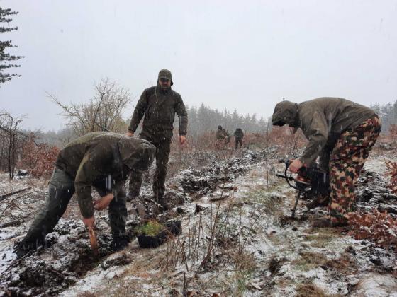 Нова гора от бял бор е засадена край Дупница