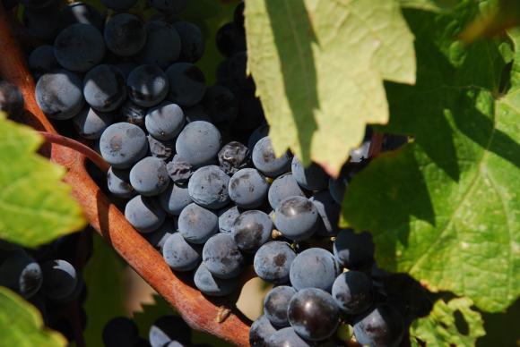 След месец се подават заявките за застраховане на виненото грозде