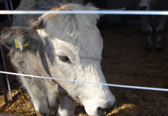ЕС е увеличил износа на говеждо през 2020 година