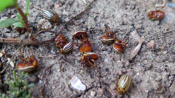 Помощници в борбата срещу колорадския бръмбар