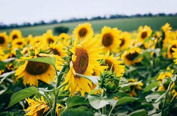 Кои са шестте различни ползи при третиране на слънчоглед с АМАЛГЕРОЛ ЕСЕНС?
