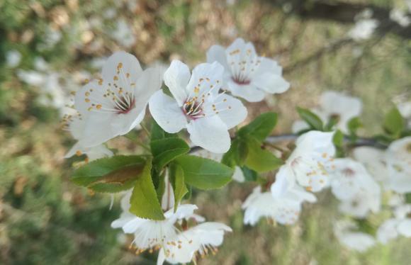 Регулиране на плододаването – прореждане на цветове и завръзи при ябълката
