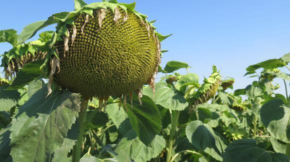 Експерти прогнозират рекордна реколта от слънчоглед в ЕС