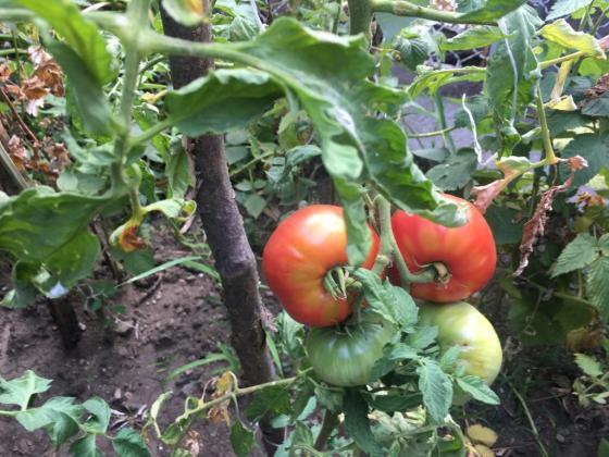 Кога и как да почистваме листата на доматите