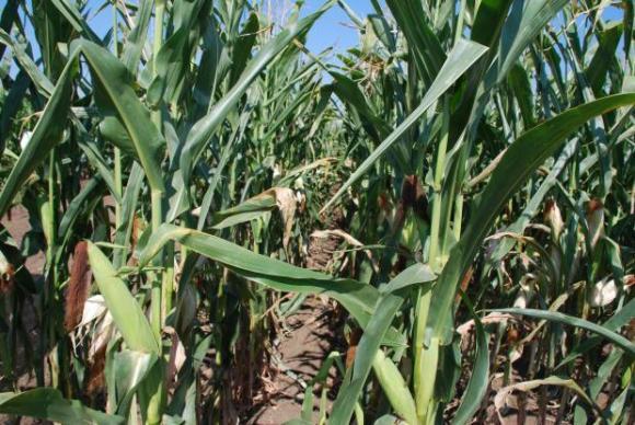 В Украйна царевицата от новата реколта поскъпва покрай пшеницата