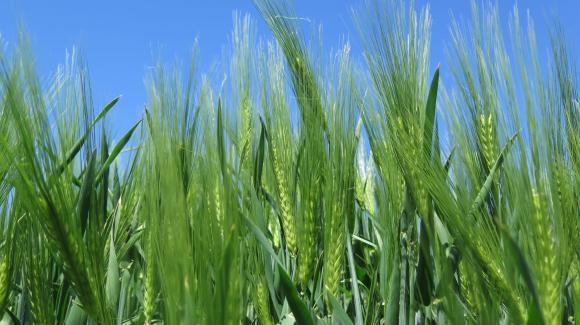 Валежите стабилизираха състоянието на пшеницата и ечемика във Франция