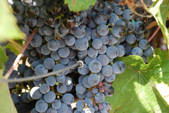 Максималното застрахователно обезщетение за реколтата от винено грозде е 3636 лева за хектар