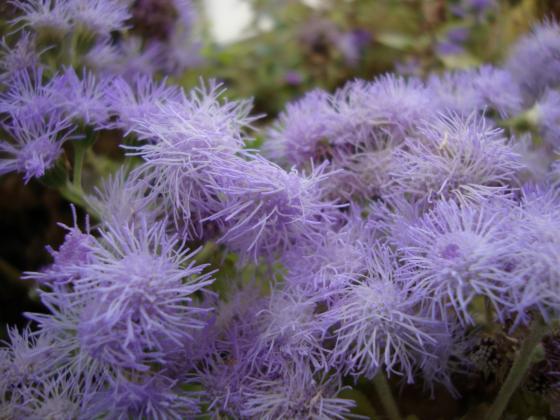 Агератум – фин аромат и очарователни цветове за вашата градина