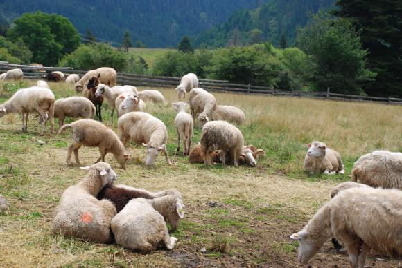 Три години след чумата по овцете в Болярово щели да взимат проби от стадото на Ана Петрова