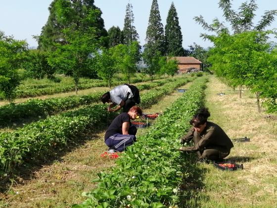 Поредна добра реколта от ягоди отгледаха горските до Рилския манастир