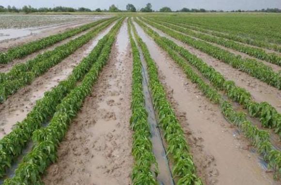 Почти 40% от площите с пипер са под вода заради дъждовете
