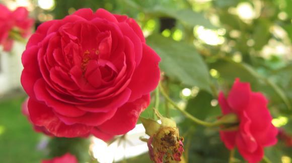 Добивът от маслодайна роза към момента е с 51 процента по-малък на годишна база
