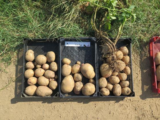 На 24 юни в Джебел се организира семинар за производството на картофи