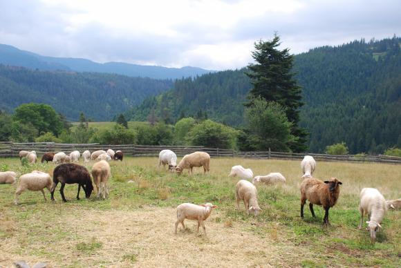 Семинар ще разяснява как да увеличите продуктивността на овцете и козите
