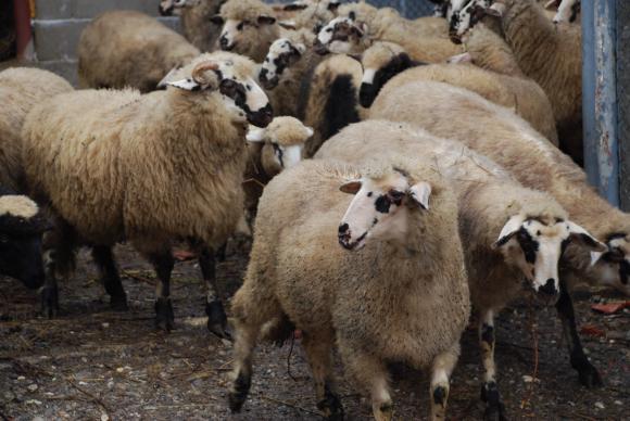 Преведени са над 7 млн. лв. за имунопрофилактика на животните