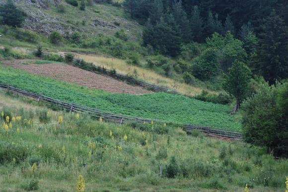 Засадете картофи и през лятото!