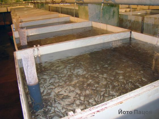 За една година близо 100 развъдници за риба са фалирали