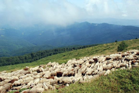 Подготовка и случна кампания при овцете