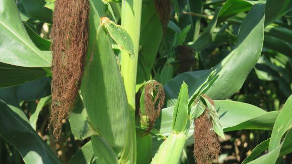 Сушата в Русия застрашава посевите с царевица и слънчоглед