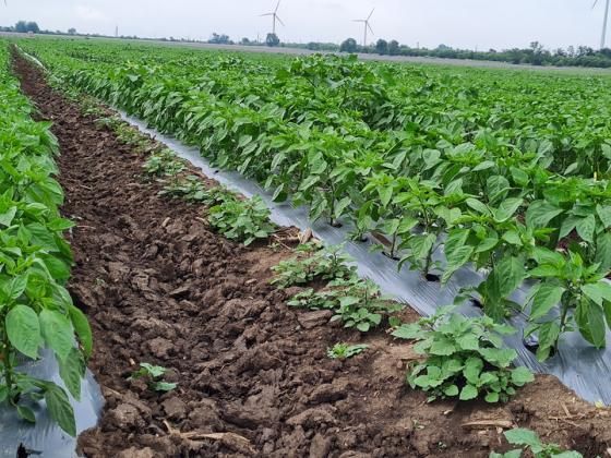 """Течове в """"Напоителни системи"""" отново оставиха без вода площи с пипер в Каварненско"""