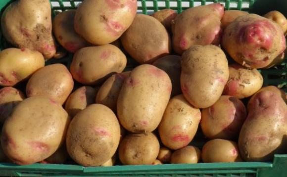 Проливните дъждове съсипаха картофите в Украйна
