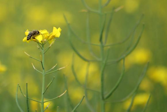 Учени в САЩ създадоха противоотрова за пчелите срещу пестициди