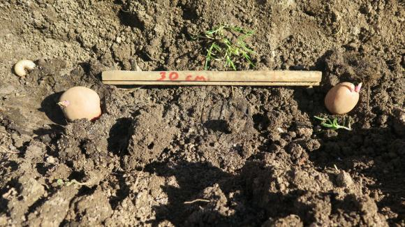 Ефективни начини за възстановяване плодородието на почвата след отглеждане на картофи